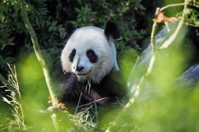 雌性貓熊夢夢在2017年從中國來到德國,圖為夢夢正在圍欄內吃竹子。(法新社)