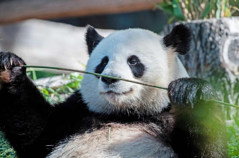 雄性貓熊嬌慶在柏林動物園內的圍欄內拿起竹子。(法新社)