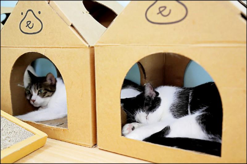 與貓咪們一起上課,讓民眾願意走進中途之家,透過近距離接觸了解每隻中途貓的個性。(記者陳宇睿/攝影)