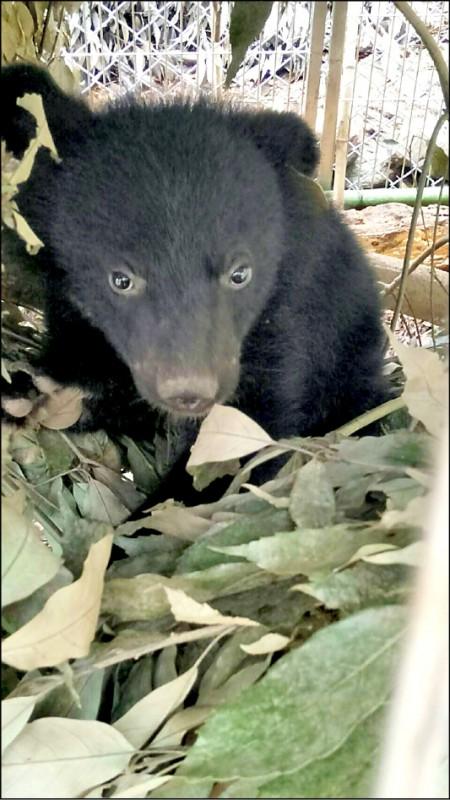 「廣原小熊」是女生。(台東林管處提供)