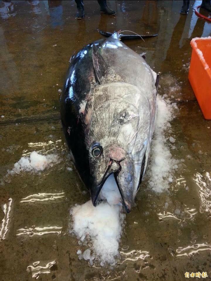 黑鮪魚。(記者陳彥廷攝)