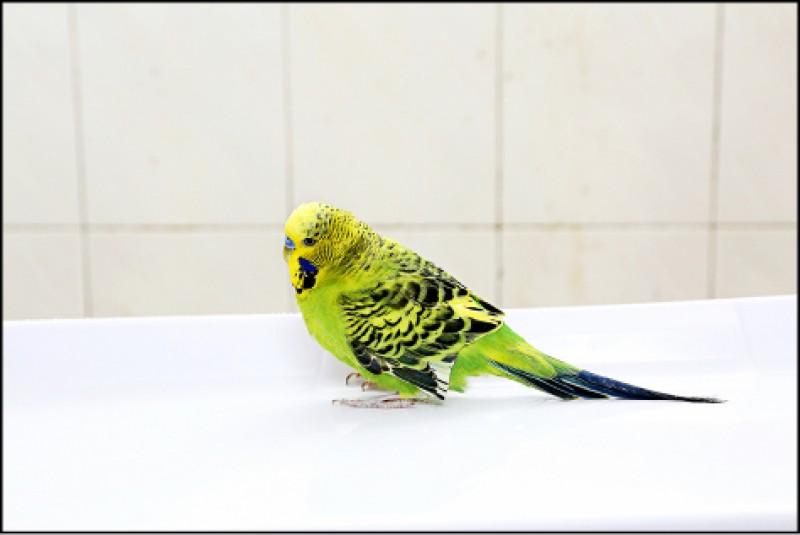 虎皮鸚鵡。(記者沈昱嘉/攝影)