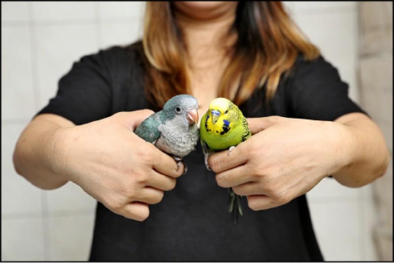 和尚鸚鵡(左)與虎皮鸚鵡(右),嬌小又愛模仿主人聲音互動,好養好上手,深得愛鳥人的喜愛。(記者沈昱嘉/攝影)