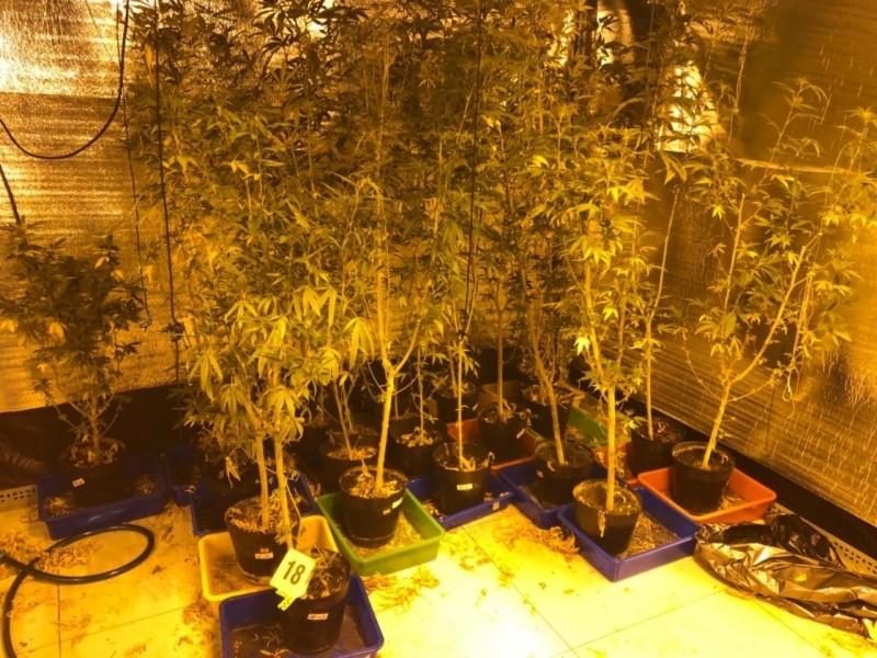 檢警查獲大麻成株220株。(記者張瑞楨翻攝)