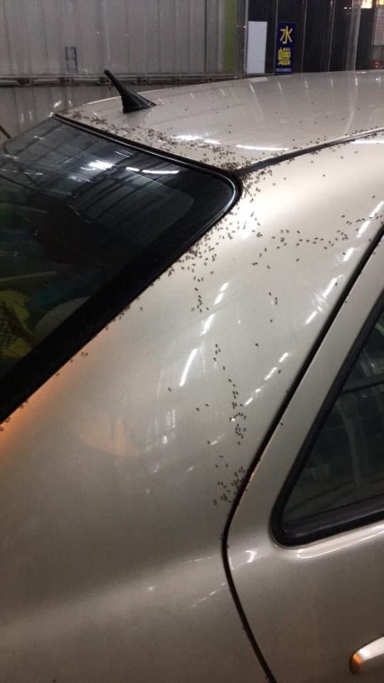 南投有民眾將車子停在樹下一個晚上,竟全車遭螞蟻攻佔「坐霸王車」,不論怎麼清都消滅不完。(記者劉濱銓翻攝)