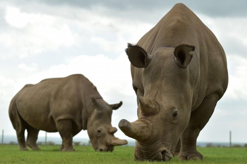 世界上「唯二」北白犀、30歲的Najin(左)和其女19歲的Fatu(右)。(法新社)