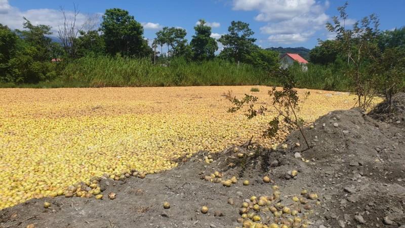 農糧署進行文旦柚有機試驗堆肥,未來優先供較貧瘠土壤使用。 (民眾提供)