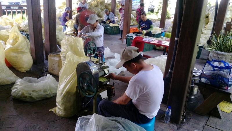 花蓮瑞穗鄉農會聘請工人進行文旦柚加工。(農糧署東區分署提供)