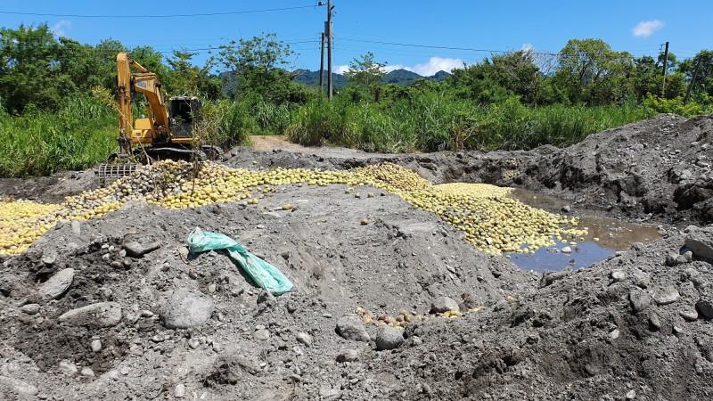 花蓮文旦柚「大果收購」已達1800噸,其中1000噸將作為有機堆肥試驗。(民眾提供)