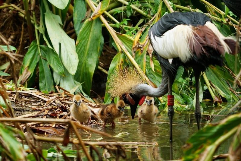 冠鶴是早熟性的鳥類,孵化後沒幾天就會跟著親鳥到處學習。(台北市立動物園提供)