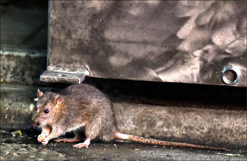 科學家猜測老鼠可能本性就喜歡玩遊戲所帶來的趣味感。(法新社檔案照)