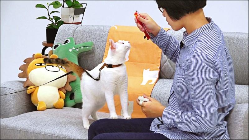 訓練貓咪握手時,可以將零食拿高,引誘貓咪抬手抓。(記者陳宇睿/攝影)