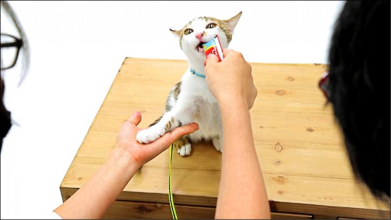 當貓咪成功達成碰人手或碰到人掌心,就要給予獎勵。(記者陳宇睿/攝影)