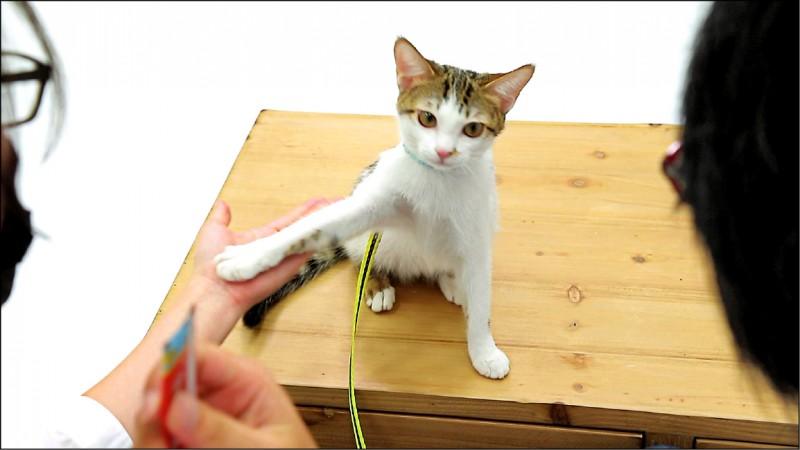 飼主伸出左手、右手拿零食,誘導貓用貓手碰到人手。(記者陳宇睿/攝影)