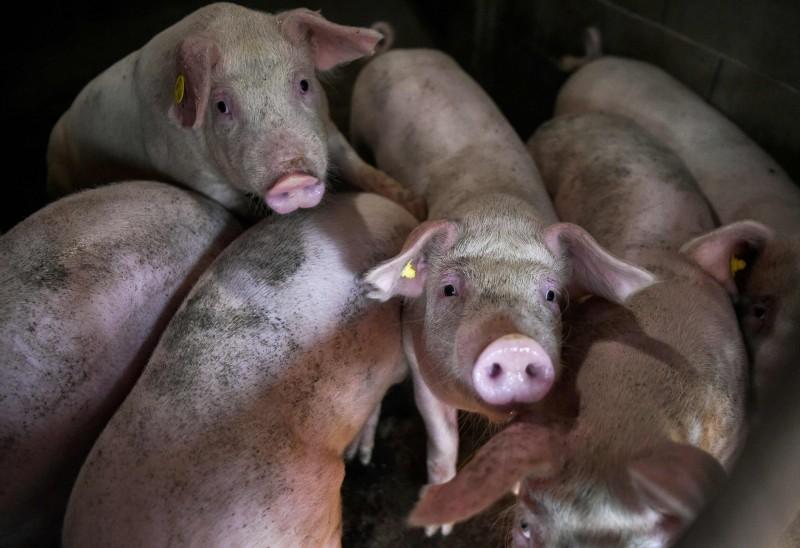 日本長野縣政府今日宣布成為第6個受豬瘟影響的縣,各個養豬場預計共將撲殺上千頭豬。(法新社)