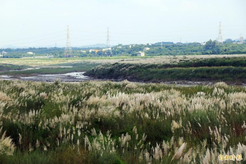 甜根子草開在曾文溪兩旁,彷彿一層薄雪覆蓋在溪畔。(記者萬于甄攝)