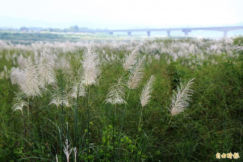 禾本科植物甜根子草常被誤認為是蘆葦或芒草,但三者生長環境並不相同。(記者萬于甄攝)