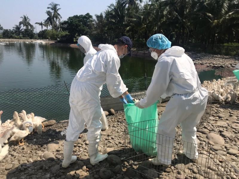 高雄鴨場驗出首例H5N5禽流感 鎖定周邊5禽場監測
