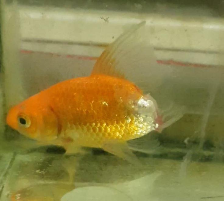 經過悉心照料半年,金魚腐爛的部位不但漸漸脫落,也漸漸將魚尾巴長回來。(圖擷取自臉書)