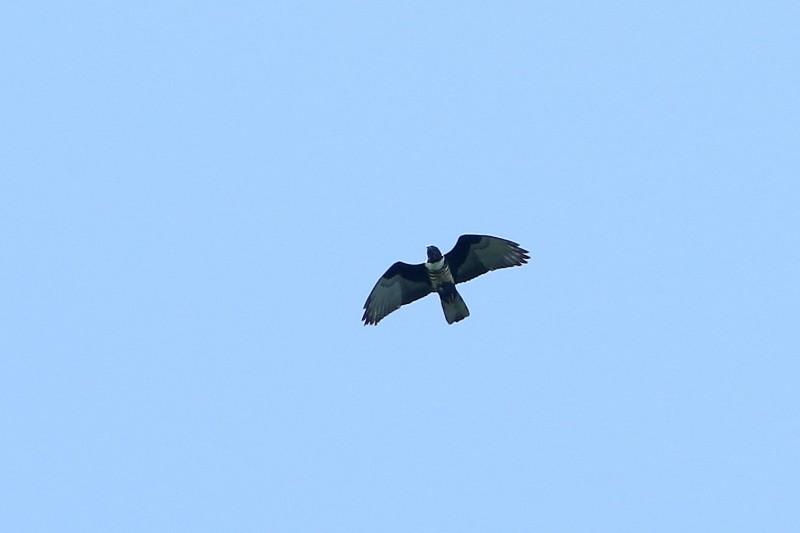 秋季猛禽來了 「夢幻鷹種」首次現蹤高雄