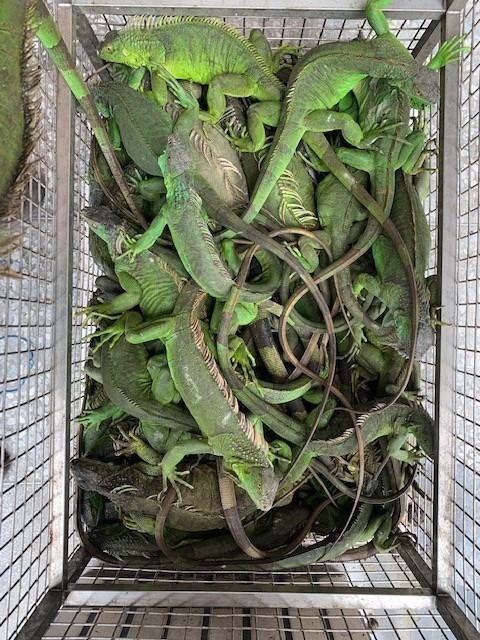 捕綠鬣蜥換紅豆 屏東2個月捉了1317隻