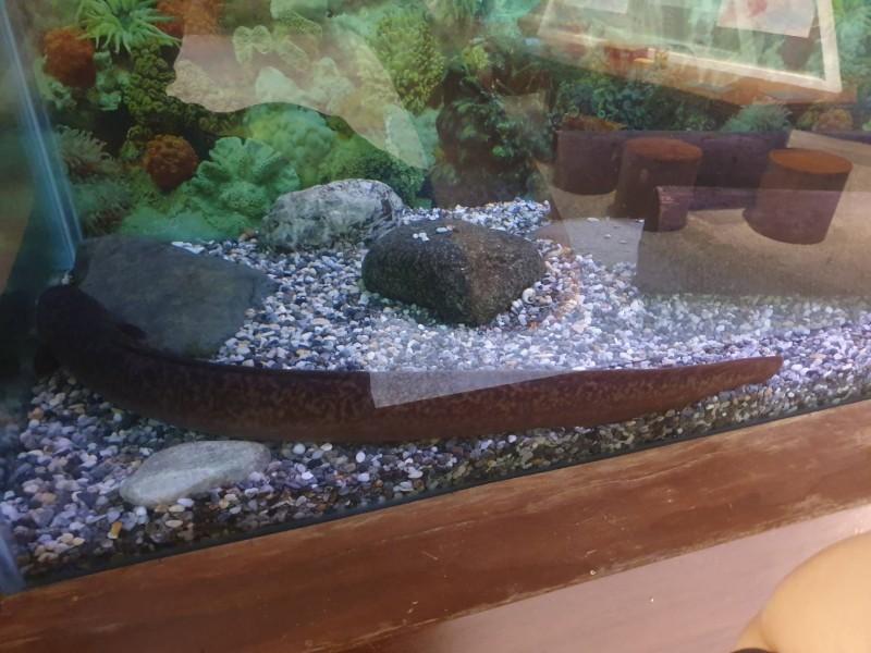 花蓮縣民黃先生日前在花蓮壽豐荖溪流域,發現野生大尾鱸鰻,捕獲的鱸鰻長約150公分,重達25斤。(花蓮縣水產培育所提供)