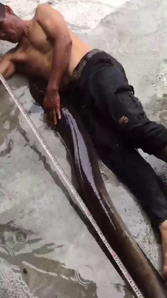 花蓮縣民黃先生日前在花蓮壽豐荖溪流域,發現野生大尾鱸鰻,捕獲的鱸鰻長約150公分。(民眾提供)