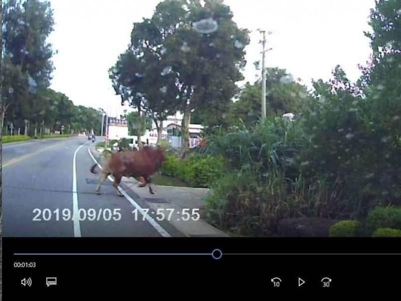 肇事的黃牛撞車後拖著一條繩子離開現場。(圖擷自臉書靠北金門)