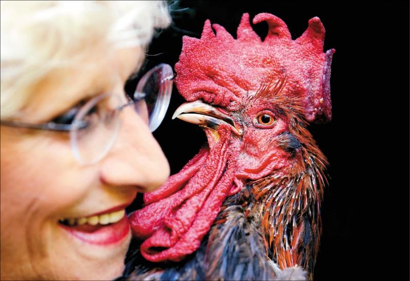 柯琳.費索和她飼養的公雞「莫里斯」。法國奧萊龍聖皮耶市的公雞莫里斯,因高聲啼叫被控噪音污染告上法院。(路透)