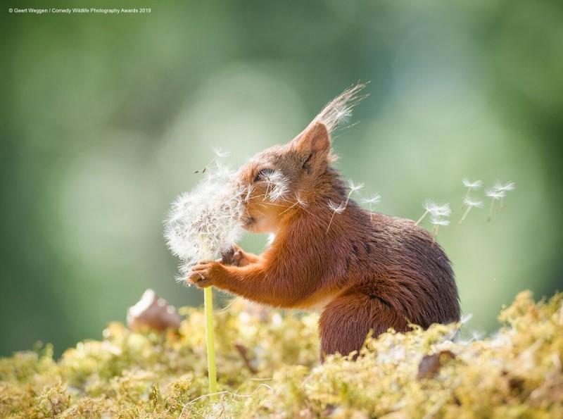 眾所矚目、萬眾期待的「搞笑野生動物攝影大獎」日前公布今年入圍作品。圖為入圍作品之一,由攝影師Geert Weggen所攝的松鼠疑似在「許願」。(圖由©Geert WeggenComedy Wildlife Photography Awards授權)