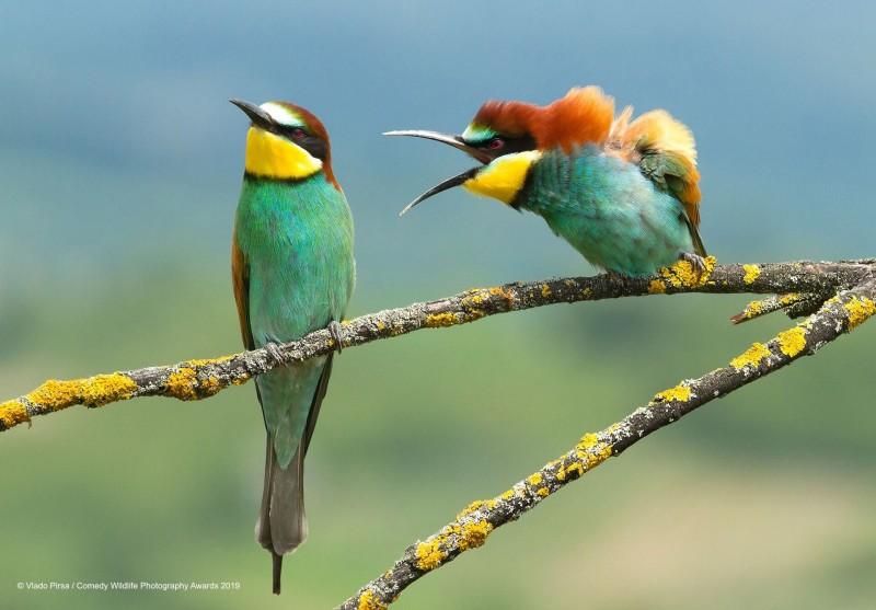 入圍作品之一,由攝影師Vlado Pirsa所攝,色彩鮮豔的鳥疑似在「爭執」。(圖由©Vlado PirsaComedy Wildlife Photo Awards 2019授權)