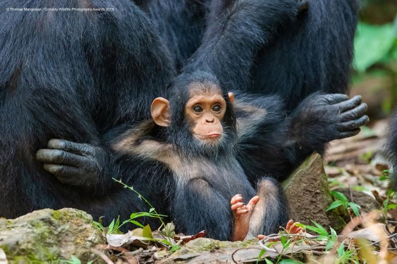 入圍作品之一,由攝影師Thomas Mangelsen所攝,小猴子姿態優閒。(圖由©Thomas Mangelsen/Comedy Wildlife Photo Awards 2019授權)