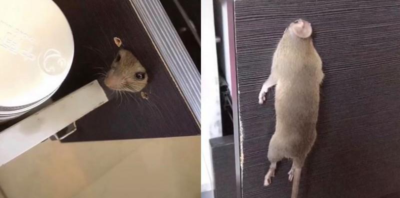 一隻老鼠想偷吃抽屜內的食物,卻發生「頭過身沒過」的悲劇,被人類當場查獲。(圖擷取自爆笑公社)