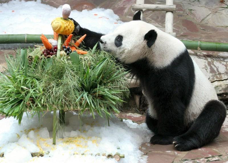 19歲大貓熊「創創」在16日突然死亡,死因還需外界進一步調查。(歐新社)