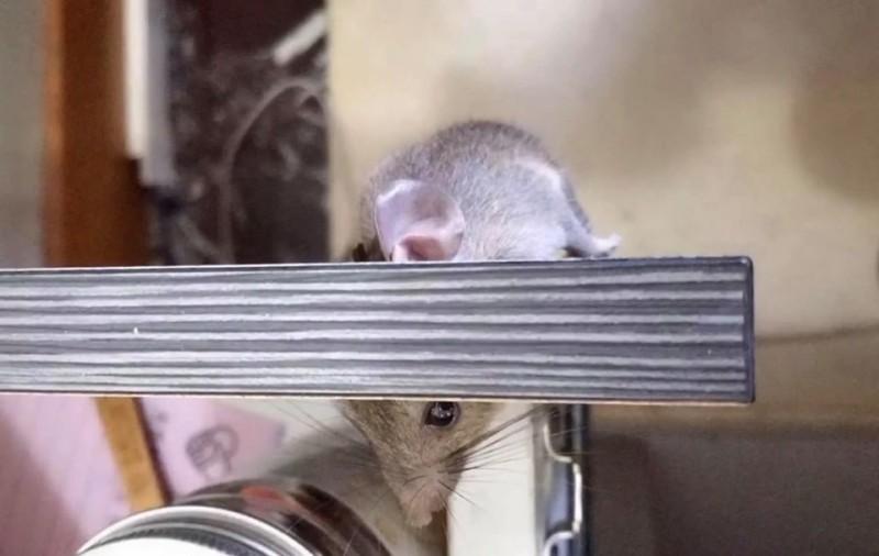 該隻老鼠被發現時還活著,許多網友於心不忍,希望原PO能救牠。(圖擷取自爆笑公社)