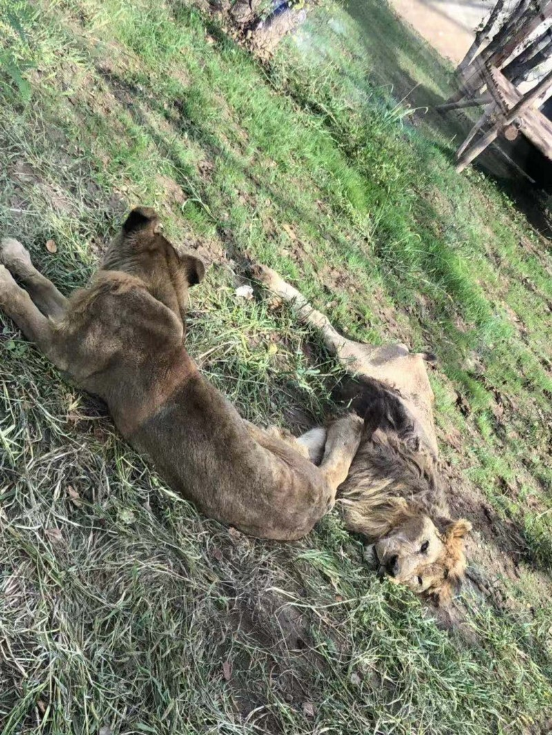 沒肉吃!中國1動物園獅子瘦成皮包骨、癱倒地上