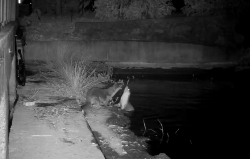 監視影像捕捉到兩隻歐亞水獺正在嬉戲。(圖擷取自「金門縣政府建設處」臉書影片)