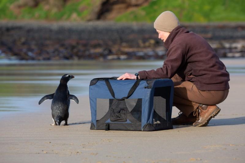 經過墨爾本動物園8週照料後,園方9月初將企鵝帶回大海放生。(法新社)