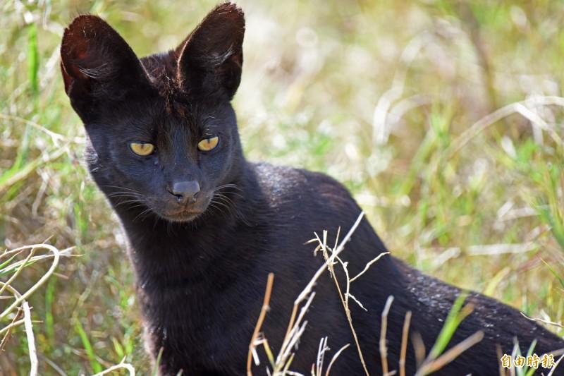直擊極罕見野生黑化症藪貓。(記者吳亮儀攝)