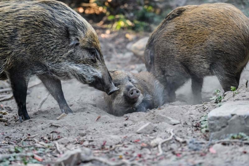 打錯了!父子倆外出狩獵 兒子誤把父親當成野豬擊斃