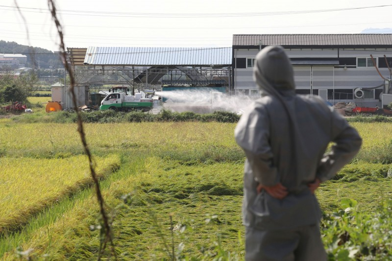 坡州一處養豬場昨出現1例非洲豬瘟的疑似病例,確診後結果為陽性,成為南韓非洲豬瘟第4起病例。(路透)