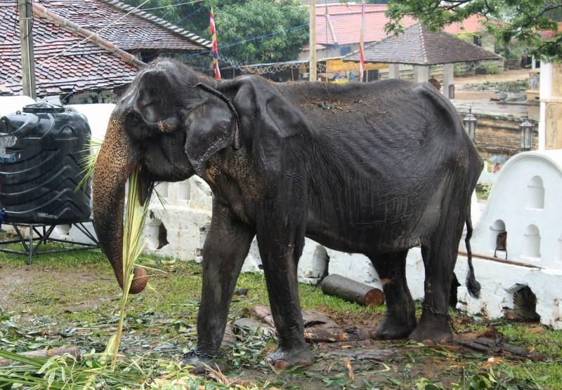 皮包骨樣貌曝光後震撼全球的斯里蘭卡70歲母象提奇莉(Tikiri),已於昨晚死亡。(法新社)