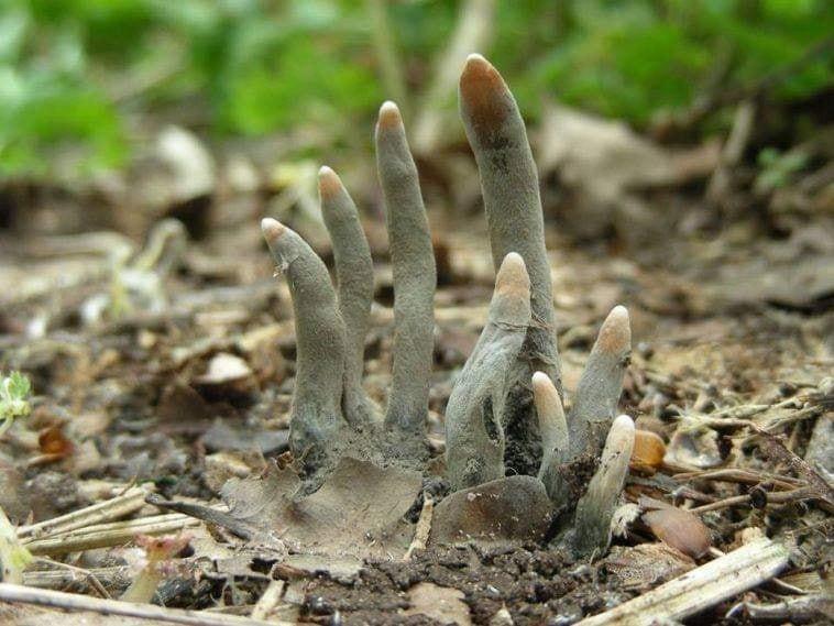 大自然的奧妙令人詫異、咋舌。竟有一種俗稱「男屍的手指」(Dead Man's Fingers)的真菌,不但形狀激似手指,甚至色澤灰暗,如同發黑、乾癟的「殭屍手指」,令人大開眼界。(圖擷取自臉書_Freaked)