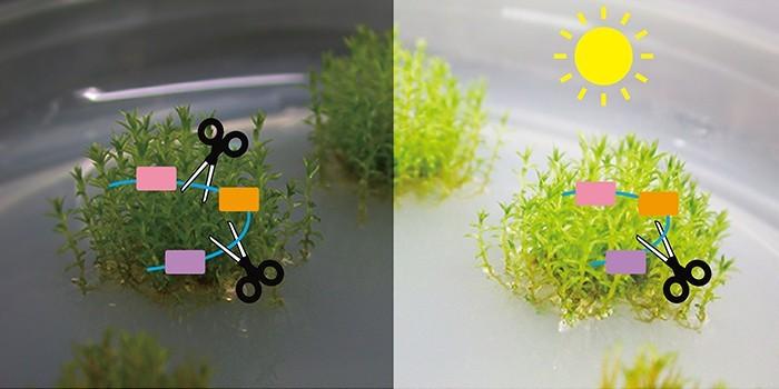 中研院植微所副研究員涂世隆團隊發現全新的植物基因表現調控機制,光敏素如何影響植物生長發育。(圖由中研院提供)