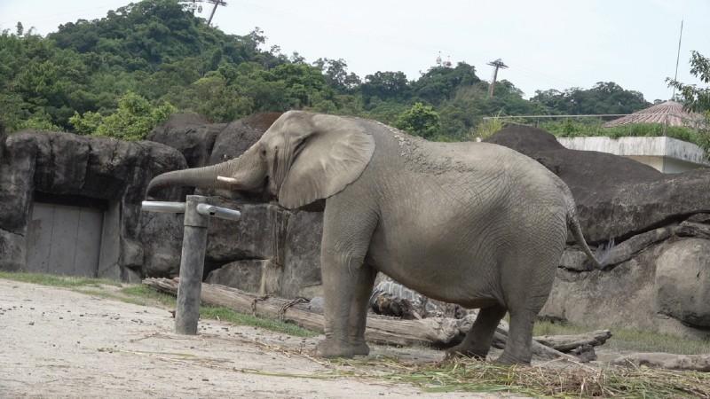 上個月因為意外幫遊客「撿」回帽子而聲名大噪的非洲象「千惠」,最近竟開始勤練梅花樁。(台北市立動物園提供)