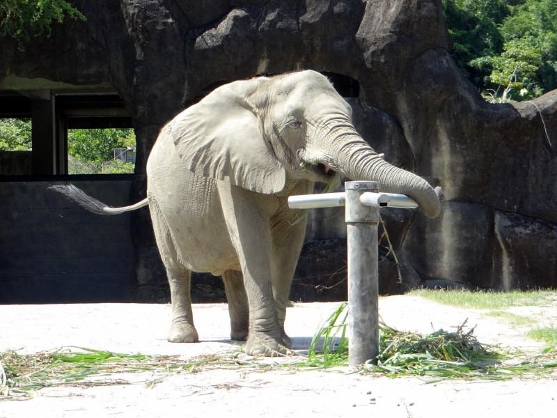 非洲象「千惠」使用行為豐富化玩具。(台北市立動物園提供)