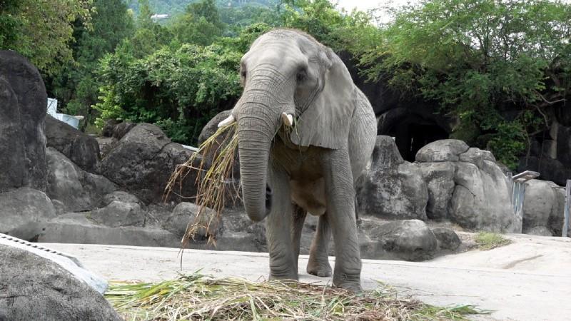 非洲象「美代」開心享用早餐。(台北市立動物園提供)