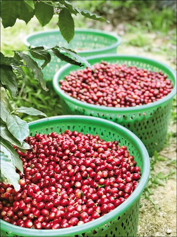 從咖啡果實到咖啡豆要經過去皮、發酵、水洗等後製作業,而國姓鄉咖啡農經過10多年的耕耘,不只讓國姓鄉咖啡躍上國際,也成為全台第1大咖啡產區。(記者李惠洲/攝影)