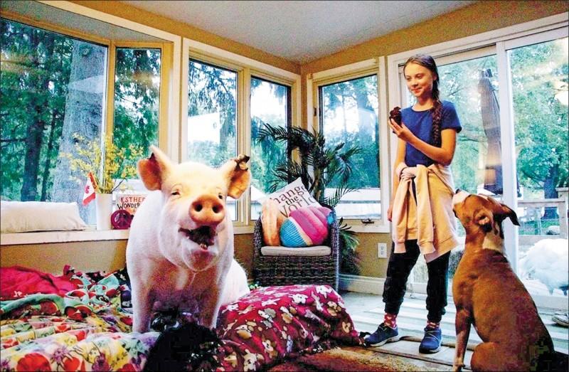 在加拿大宣傳氣候變遷議題的瑞典少女桑柏格,二日抽空到安大略拜訪「網紅豬」依瑟(Esther)。依瑟的主人原本以為牠是隻迷你豬,買下之後才發現依瑟越長越大,有趣的過程讓依瑟成為網紅,牠也和主人一起建立收容遭虐待與遺棄的農場動物之家。(路透)