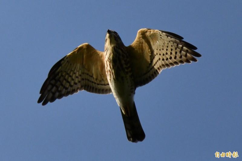 赤腹鷹過境墾丁數量破31年紀錄!25萬隻好熱鬧。(記者蔡宗憲攝)